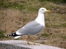 Herring-gull Stock Photos