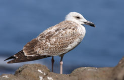 Free Herring Gull Royalty Free Stock Images - 9156289