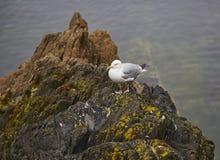 Herring Gull Royalty Free Stock Photo