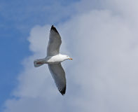 Herring Gull adult soaring Stock Photos