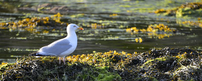 Herring gull on alga Stock Images