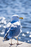Herring gull in backlighting Royalty Free Stock Photo
