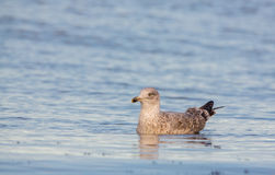 Herring Gull at the Baltic Sea Royalty Free Stock Photo