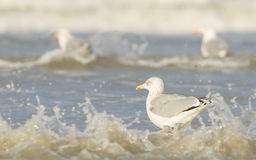 Herring gull on a beach Stock Photos