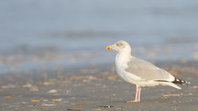 Herring gull on a beach Royalty Free Stock Photos