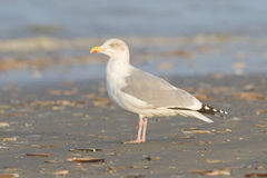 Herring gull on a beach Royalty Free Stock Photography