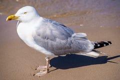 Herring gull on a beach Stock Image