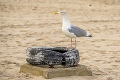 Herring gull on a beach of the Baltic Sea Royalty Free Stock Image