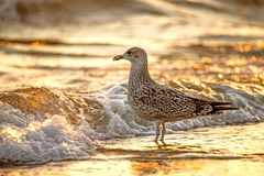 Herring gull on a beach of the Baltic Sea Stock Photography