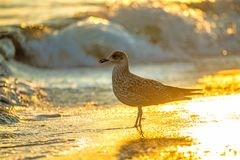Herring gull on a beach of the Baltic Sea Stock Photo
