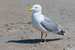 Herring gull at beach of German island Dune near Helgoland. In the Northsea stock photo