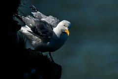 Herring gull at Bempton Cliffs. Stock Photo