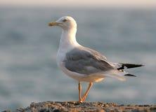 Herring Gull (bird) Royalty Free Stock Images