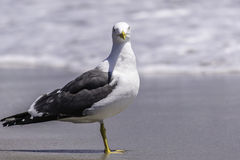 Herring Gull Bird Royalty Free Stock Photos