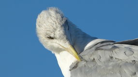 Herring gull with blue background Royalty Free Stock Photos