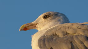 Herring gull with blue background Royalty Free Stock Photo