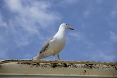 Herring gull on a boat deck Royalty Free Stock Photography