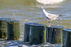 Herring gull in the breakwater Stock Photography