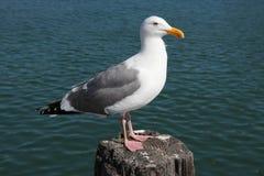 Herring gull Stock Photos