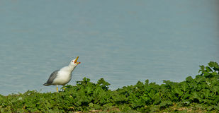 A Herring Gull calling Stock Photo