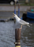 Herring Gull Calling On Metal Pole Stock Photo