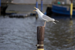 Herring Gull Calling On Metal Pole Royalty Free Stock Images
