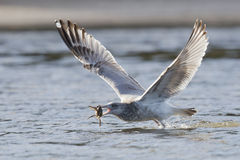 Herring Gull catching a crab Royalty Free Stock Image