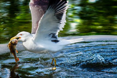 Herring gull catching a fish. From a lake royalty free stock images