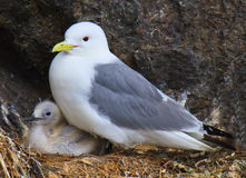 Herring gull chick in nest with her mother, Alaska Royalty Free Stock Photo