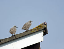 Herring Gull Chicks Royalty Free Stock Photos
