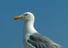 Herring Gull 1 stock image