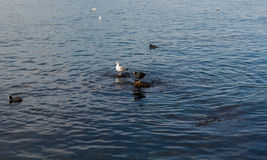 Herring gull and coots wintering on the coast. Royalty Free Stock Photography