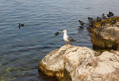 Herring gull and coots wintering on the coast. Stock Image
