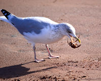 Herring Gull with Crab Stock Photos