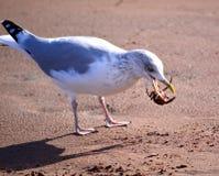 Herring Gull with Crab Stock Photos