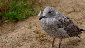 Herring Gull - cub in a detail shot stock video footage