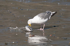 Herring Gull eating a Dead Fish on the Beach Stock Images
