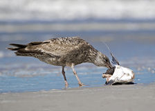 Herring Gull eating dead shark fish Royalty Free Stock Image