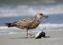 Herring Gull eating dead shark fish Stock Photos