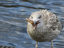 Herring gull eats a starfish Royalty Free Stock Photography