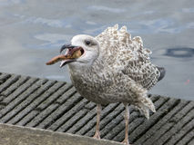 Herring gull eats a starfish Royalty Free Stock Photo