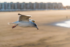 Herring gull Royalty Free Stock Photos