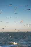 Herring gull Royalty Free Stock Images