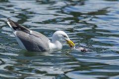 Herring gull feeding in the water. Royalty Free Stock Photos