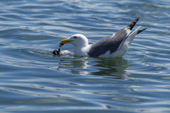 Herring Gull feeds on dead bird in water. Royalty Free Stock Photography