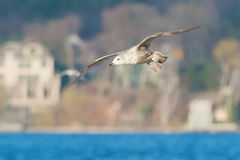 Herring Gull stock images