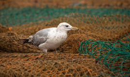 Herring Gull on Fishing Net Royalty Free Stock Photos