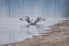 Herring Gull. The Herring Gull flaps its wings at winter river bank. Scientific name: Larus argentatus Royalty Free Stock Image