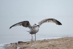 Herring Gull. The Herring Gull flaps its wings at winter river bank. Scientific name: Larus argentatus Royalty Free Stock Photography