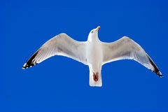 Herring Gull in flight Royalty Free Stock Image